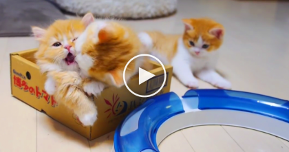 Your Heart Will Melt When You See What These Munchkin Kittens Are Doing… AWW!!
