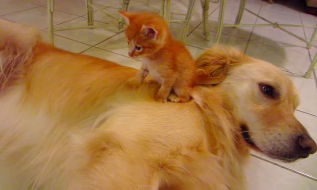 cat-and-golden-retriever-dog-2