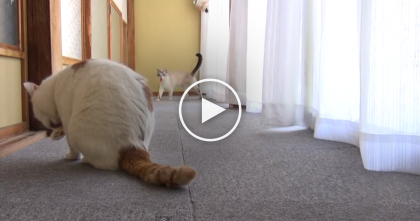 Hold On A Second… Is This Kitty A Dog? He Sure Thinks He Is! WATCH