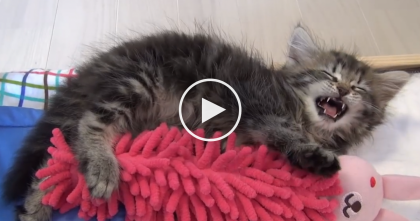 This Kitty Has A Lot To Say To His New Fuzzy Friend, But He Just Can't Stay Awake! D'aww…
