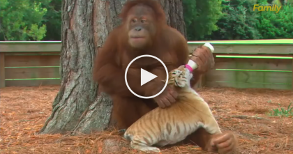 This Orangutan Noticed These Big Cat Tiger Cubs… But What He Did Next? Unbelievable…