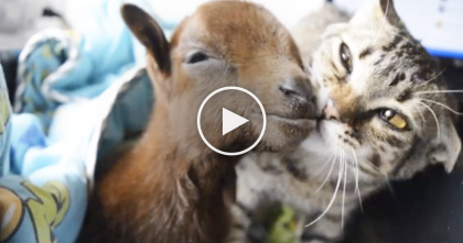 When This Rescued Cat Noticed The Goat With A Broken Leg, THIS Happened…