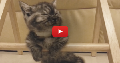 When This Kitten Gets Tired, Just Watch How He Handles It… Awwwww!!