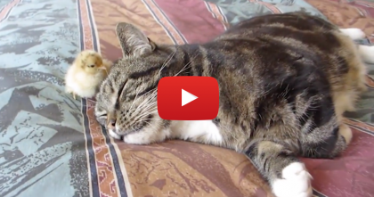 This Kitty Was Sleeping, Then He Gets A Surprise Visitor… OMG, Adorable!!