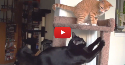 When Marmalade Discovers The Cat Tree… The Look On Cole's Face, Hilarious!!