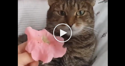 This Cat Gets A Special Gift, But Just Watch Till 0:09… OMG, Just Look At That Expression!!