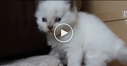 This Kitten Is Just Too Darn Exhausted…But He's Too Cute To Stop Watching, Awwww!!!
