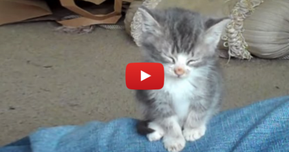 This Little Kitten Climbs Up On His Owners Leg, But Then… Nothing Can Stop Him!!