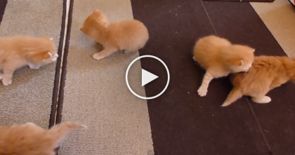 What Happens When Six Ginger Kittens Learn To Walk? Just WATCH, It's TOO Darn Cute!!