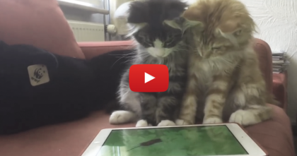 When These Cats Discover Something On The Screen…Just Watch Their Reaction!!