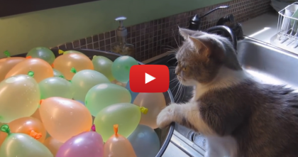 When This Little Kitten Discovers The Water Balloons, Just Watch What Happens…