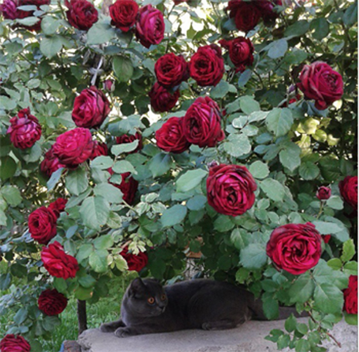 9_cats_and_roses