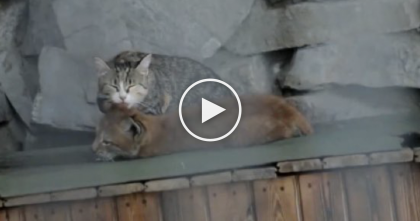 Baby Lynx Was Rejected By Her Mother, But Then This Cat Noticed… AMAZING.
