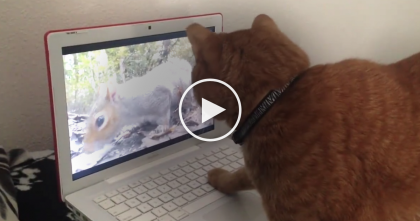 Cat Notices Squirrel On The Screen, Now Keep Watching For His Reaction… HILARIOUS