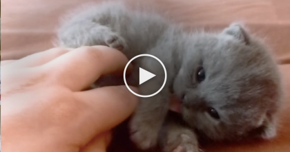 Itty Bitty Adorable Gray Kitten Is About To Melt Your Heart, Just Watch…