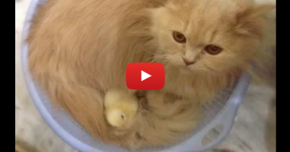 They Adopted Some Baby Chicks, But When The Cat Noticed?? They Couldn't Believe It!