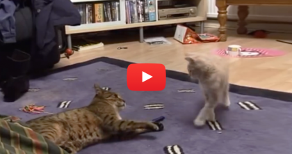 This Bengal Cat HATES The New Kitten, But Keep Watching Till The End… Amazing!!