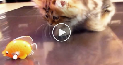 When These Kittens Notice The Little Yellow Fish, Keep Watching To See Their Reaction…