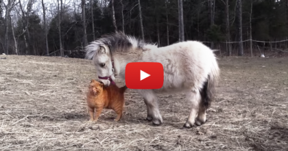 When This Ginger Kitten Wants Some Petting From The Mini Horse… You Gotta See It!!
