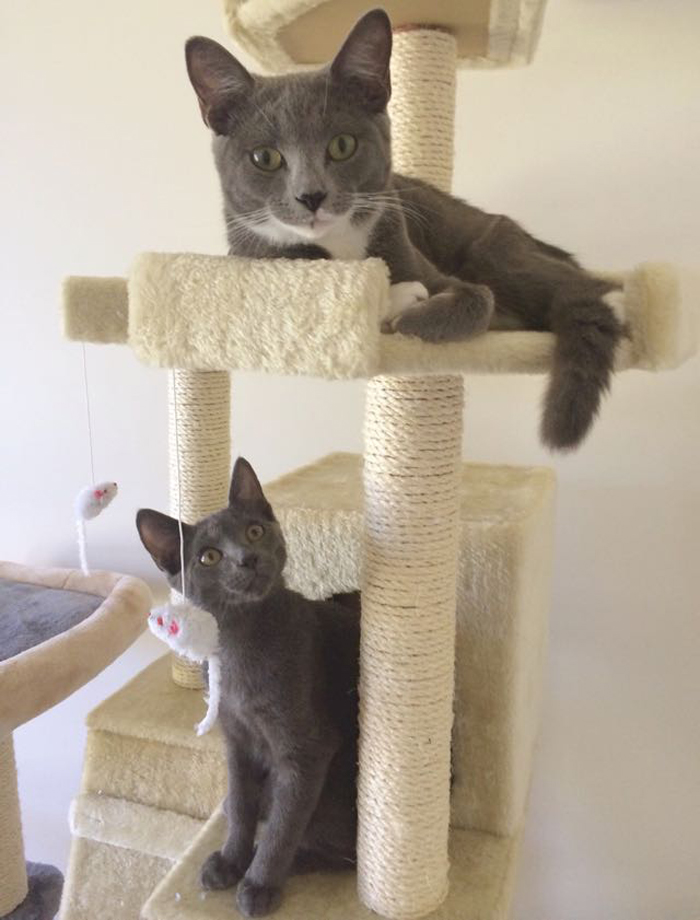 2_gray_cats_on_scratchy_post