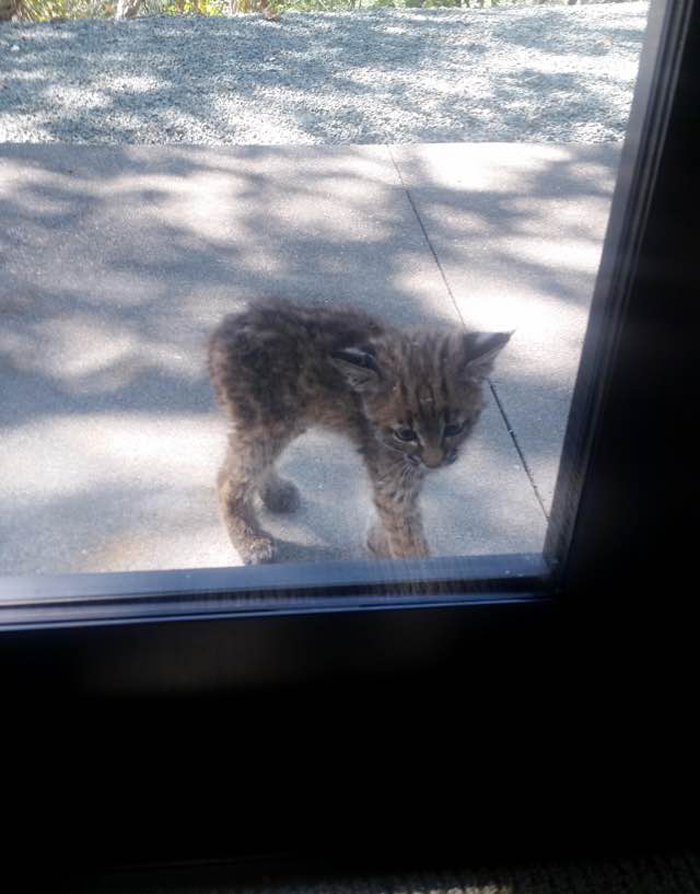Bobcat_looks_through_window_2