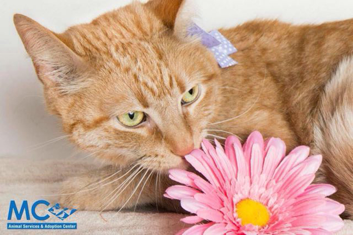 Orange_cat_smells_flower