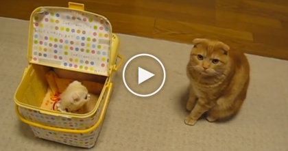 Ginger Kitty Discovers The New Kitten For The First Time…And It's Just Adorable!!