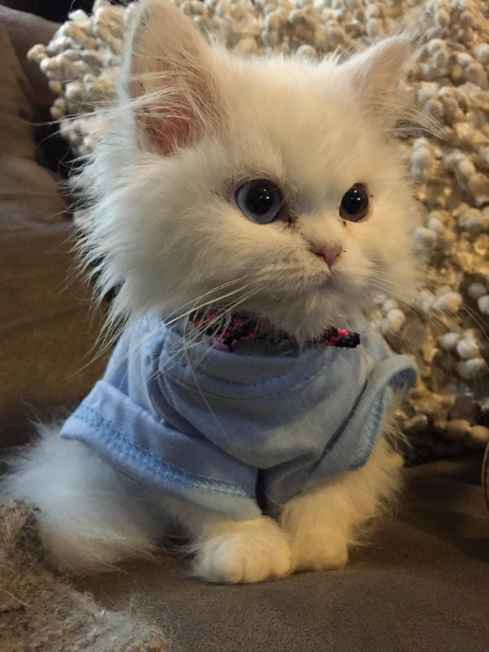 kitten_wearing_shirt