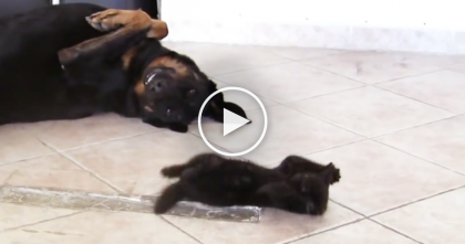 The Dog Is Too Pooped To Play, But That Doesn't Stop This Kitten…Just Watch! LOL.