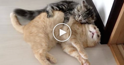 They Got A New Kitten, But When He Met The Others… It's TOO Funny, Just WATCH.