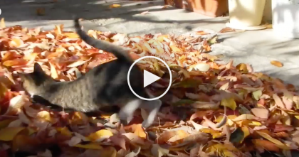 "This Kitty Sees The Fallen Leaves And Decides It's Time To ""Rake"" Them….So FUNNY!"