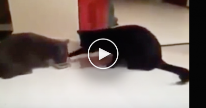 Two Cats Were Eating Dinner, But Then They Started Arguing… HILARIOUS.