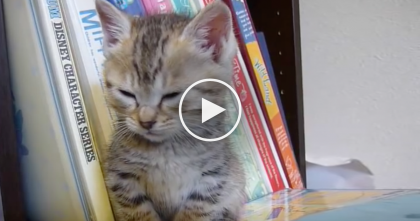 When This Kitten Gets Tired And Exhausted, He Just Can't Help It… SOO Adorable!!