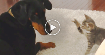 Kitten Meets Large Doberman Dog, But The Results Are TOO Cute To Handle…
