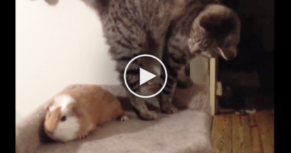 Kitty Discovers Guinea Pig In His Bed, But Watch His Reaction… OMG, Hilarious!!
