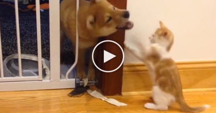 Little Kitten Battles Shiba Inu Puppy To Defend His Territory…The Results Are Just ADORABLE.
