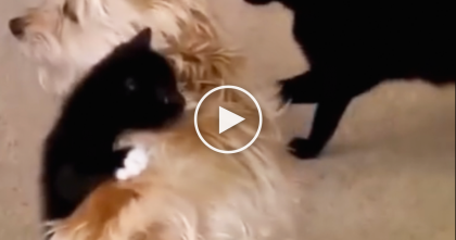 Little Kitten Hops On For A Piggy Back Ride, Watch Doggie's Reaction… SOO Cute!!