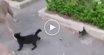 Rude Man Almost Lets His Dog Eat A Poor Kitten, But Mamma Knows How To Handle It!!