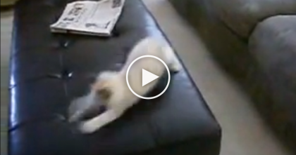 VIDEO: Ragdoll Kitten Losses His Mind When He Discoveries The Ottoman… Oh My!!