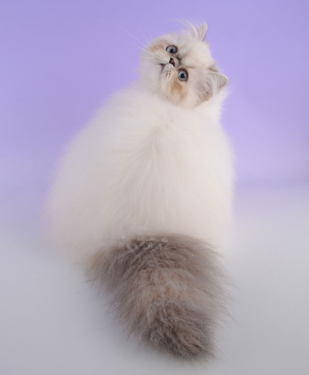 15-Fluffiest-fluffy-cats-in-the-world