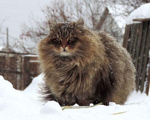 6-Fluffiest-fluffy-cats-in-the-world