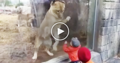 Big Cat Sees Little Human At The Zoo, But When You See The Reaction… Whoa!!