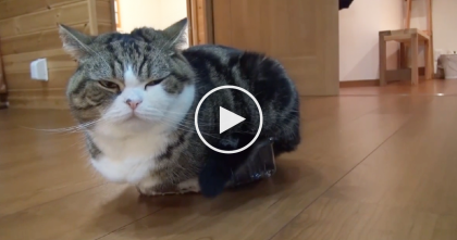 Big Kitty Attempts To Fit In The SMALLEST Box Ever… I Can't Stop Laughing, LOL.