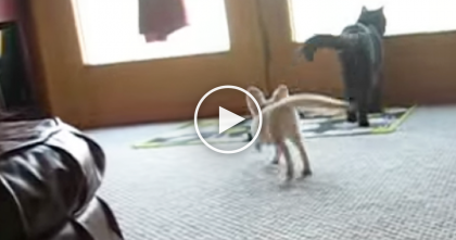 They're Both Play Fighting For Fun, But Take A Closer Look, That's Not Another Cat…