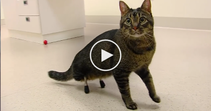 Kitten Was Born With No Hind Legs, But After This Incredible Surgery… AMAZING.