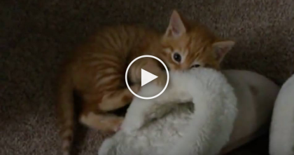 Tiny Ginger Kitten Discovers A Shoe, But He Just Can't Resist The Urge… Just Watch, LOL!!