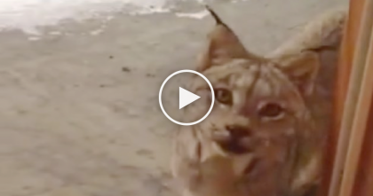 "Majestic Wild Lynx Cat Surprises Alaskan Resident, Then Walks Over Just To Say ""Hello""…"
