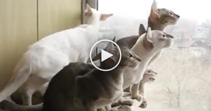 Oriental Shorthair Cats Notice Something Outside The Window, But WATCH Their Reaction…