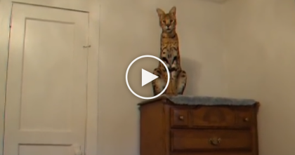 Don't Underestimate This Serval Cat Until You See How High He Can Jump. WOW, This Is Amazing!
