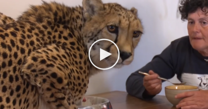 She Got Cancer And Nearly Died, But What This Cheetah Did Next… This Story Is Amazing, WOW.
